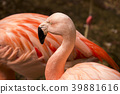 flamingo, flamingoes, flamingos 39881616