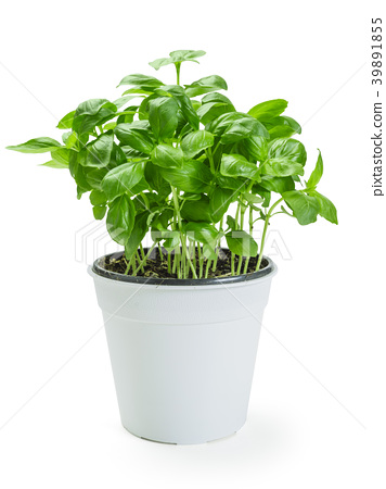 Basil plant in white pot 39891855