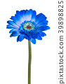 Blue gerbera flower with stem on white background 39898825