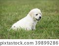 Nice golden retriever puppy 39899286