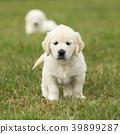 Nice golden retriever puppy 39899287