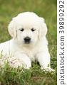 Nice golden retriever puppy 39899292