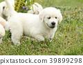 Gorgeous golden retriever puppy 39899298