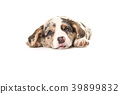 Cute tired welsh corgi puppy dog facing the camera 39899832