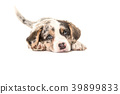 Cute welsh corgi puppy lying down 39899833