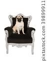 Cute pug dog sitting in a black baroque chair  39899911