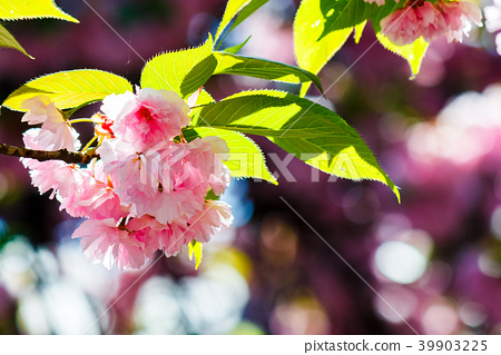 pink flowers of cherry blossom among the branches 39903225