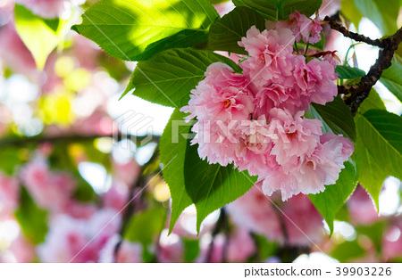 pink flowers of cherry blossom among the branches 39903226