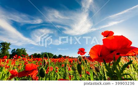 poppy flowers field in mountains 39903236