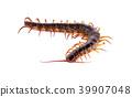 centipede on white background 39907048