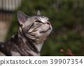 cat, pussy, american shorthair 39907354