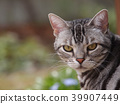 cat, pussy, american shorthair 39907449
