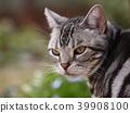 cat, pussy, american shorthair 39908100
