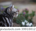 cat, pussy, american shorthair 39910012