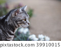 cat, pussy, american shorthair 39910015