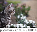 cat, pussy, american shorthair 39910016