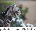 cat, pussy, american shorthair 39910017