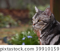 cat, pussy, american shorthair 39910159