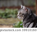 cat, pussy, american shorthair 39910160