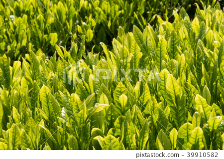 tea gardens, teplantations, tea 39910582