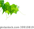 A young grapevine isolated on white background. 39910819