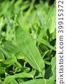 식물, 조릿대, 얼룩조릿대 39915372
