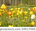 Iceland Poppy's orange flower 39917085