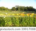 ดอกไม้สีส้มของไอซ์แลนด์ Poppy 39917088