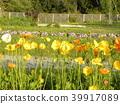 Iceland Poppy's orange flower 39917089