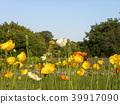 ดอกไม้สีส้มของไอซ์แลนด์ Poppy 39917090