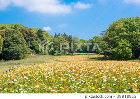 國家Musashi多小山森林公園冰島罌粟 39918918