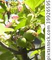 burmese rosewood, fruit, unripe 39926595
