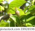 burmese rosewood, fruit, unripe 39926596