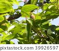 burmese rosewood, fruit, unripe 39926597