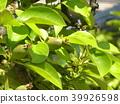 burmese rosewood, fruit, unripe 39926598