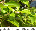 burmese rosewood, fruit, unripe 39926599