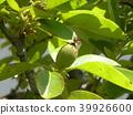 burmese rosewood, fruit, unripe 39926600