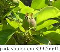 burmese rosewood, fruit, unripe 39926601