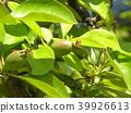 burmese rosewood, fruit, unripe 39926613