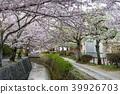 ฤดูใบไม้ผลิ,ดอกไม้,ดอกซากุระบาน 39926703