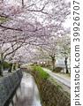 ฤดูใบไม้ผลิ,ดอกไม้,ดอกซากุระบาน 39926707