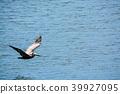 Brown Pelican (Pelecanus Occidentalis) flying 39927095