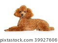 Red Toy Poodle puppy lying on white background 39927606