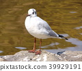 一隻正在取代夏季翅膀的海鷗 39929191