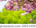 Sakura tree cherry blossoms 39931499