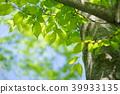 봄 코모 레비 · 느티 나무의 대목 1 39933135