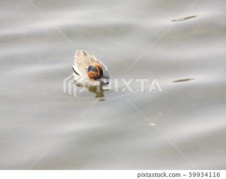 水鴨 雄性 候鳥 39934116