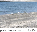 black-headed gull, white, black 39935352