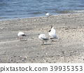 black-headed gull, white, black 39935353