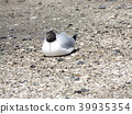 black-headed gull, white, black 39935354
